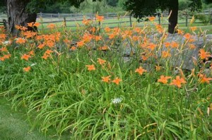 Ditch or Tawny Day Lily