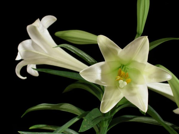 Easter Lilies Easter Lilies Care Lilyflowerstore
