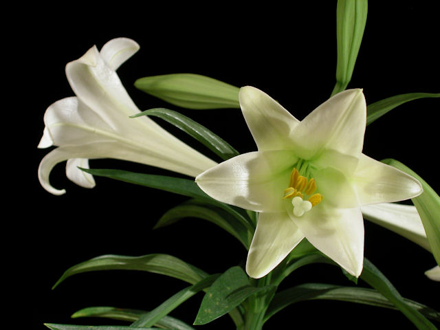 History of easter lillies lily flower store for many of us easter evokes memories of egg decorating gift baskets chocolate bunnies local church services family gatherings parades and negle Choice Image