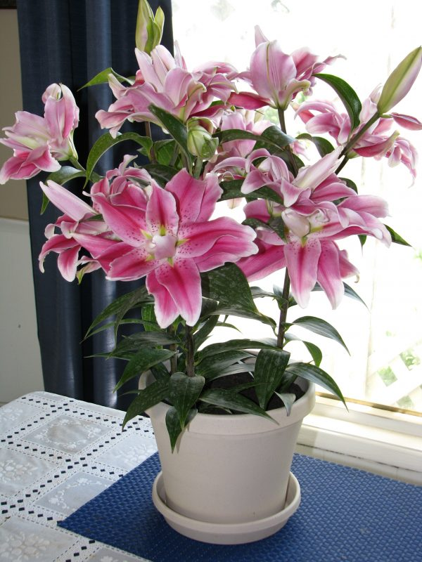 Sweet Rosey Orirental Lily Grown Indoors