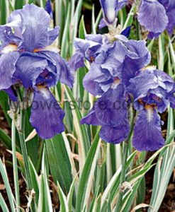 Variegated Dalmation Iris Plant Bulbs Flower