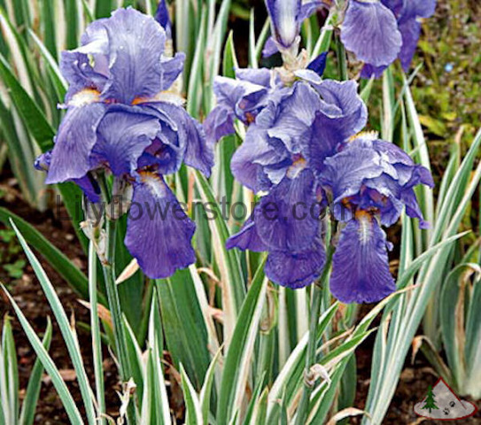 Variegated Iris Bulbs