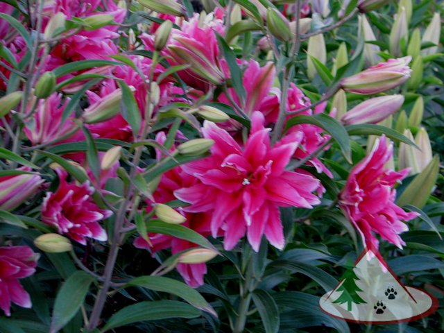 Elena Double Rose Oriental Lily