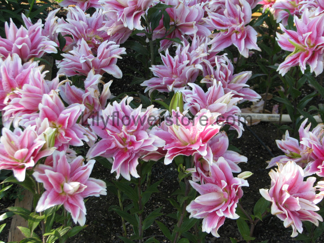 Natalia Double Rose Oriental Lily