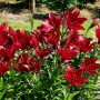 Red Alert Asian Lily