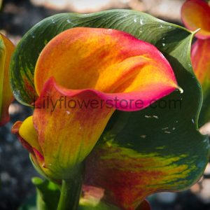 Royal Pumpkin Calla Lily
