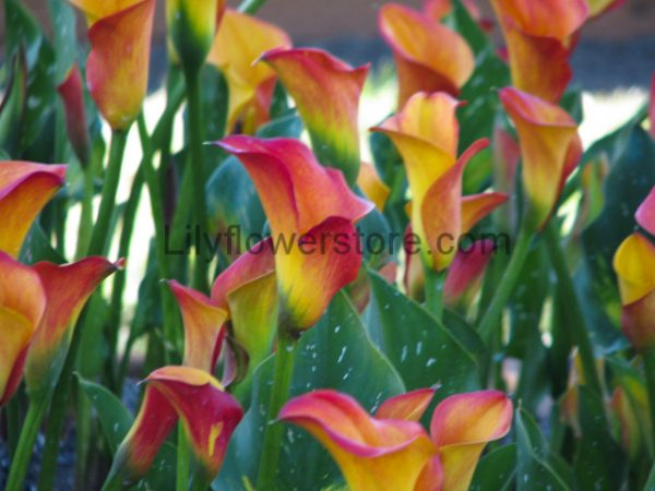 Lily Festival Planting Care Guide All Product Sold Liliyflowerfest