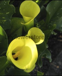Sun Club Calla Lily Bulbs Flower
