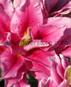 Ciara Double Rose Oriental Lily