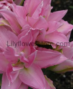 Editha Double Rose Lily Bulbs Flower