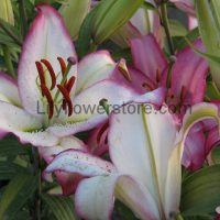 Hot Line Oriental Lily