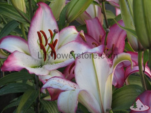 Hot Line Oriental Lily Bulbs Flower