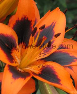 Lily Allen Asiatic Lily