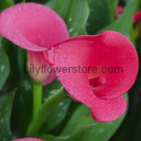 Red Emotion Calla Lily