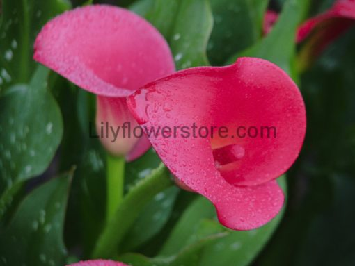 Red Emotion Calla Lily Bulbs Flower