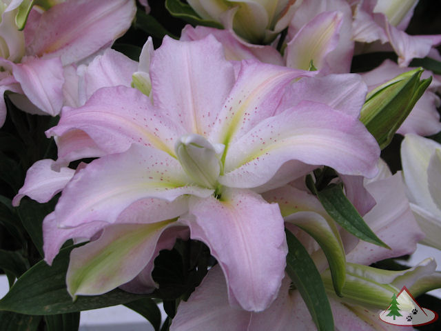 Soft Music Double Oriental Lily