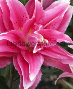 Vola Double Rose Oriental Lily