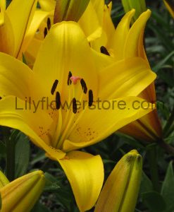 Yellow Diamond Asian Lily