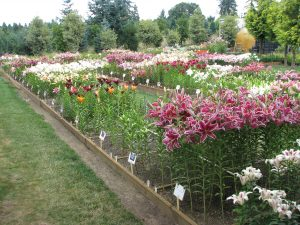 Lilies in Grow Beds