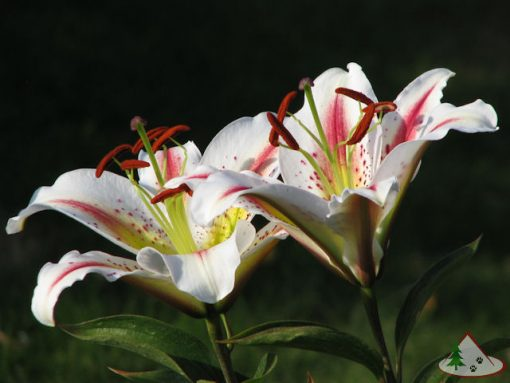 Playtime Oriental Lily