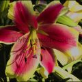 African Lady Orienpet Lily