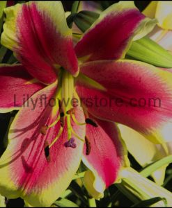 African Lady Orienpet Lily Bulbs Flower