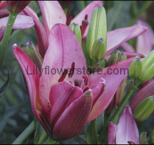 First Lady Asian Lily