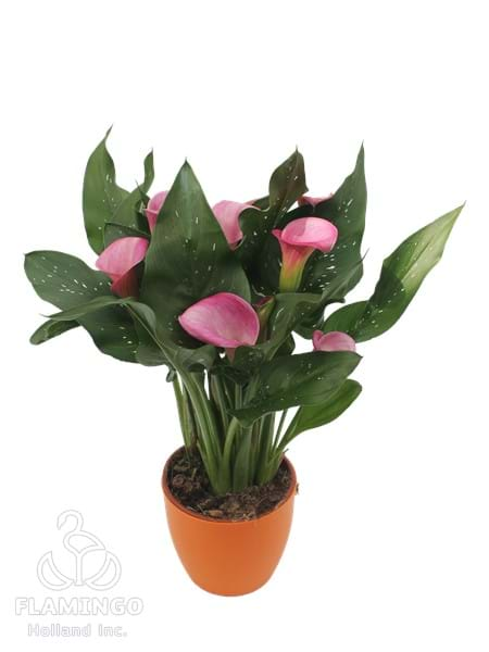Candy Art Pink Calla Lily Bulbs Flowers Flowers