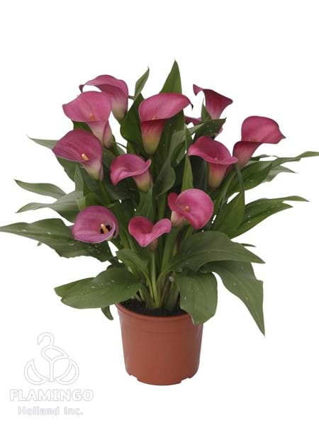 Le Cheque Calla Lily Bulbs Flower