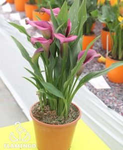 Outback Calla Lily Bulbs Flower