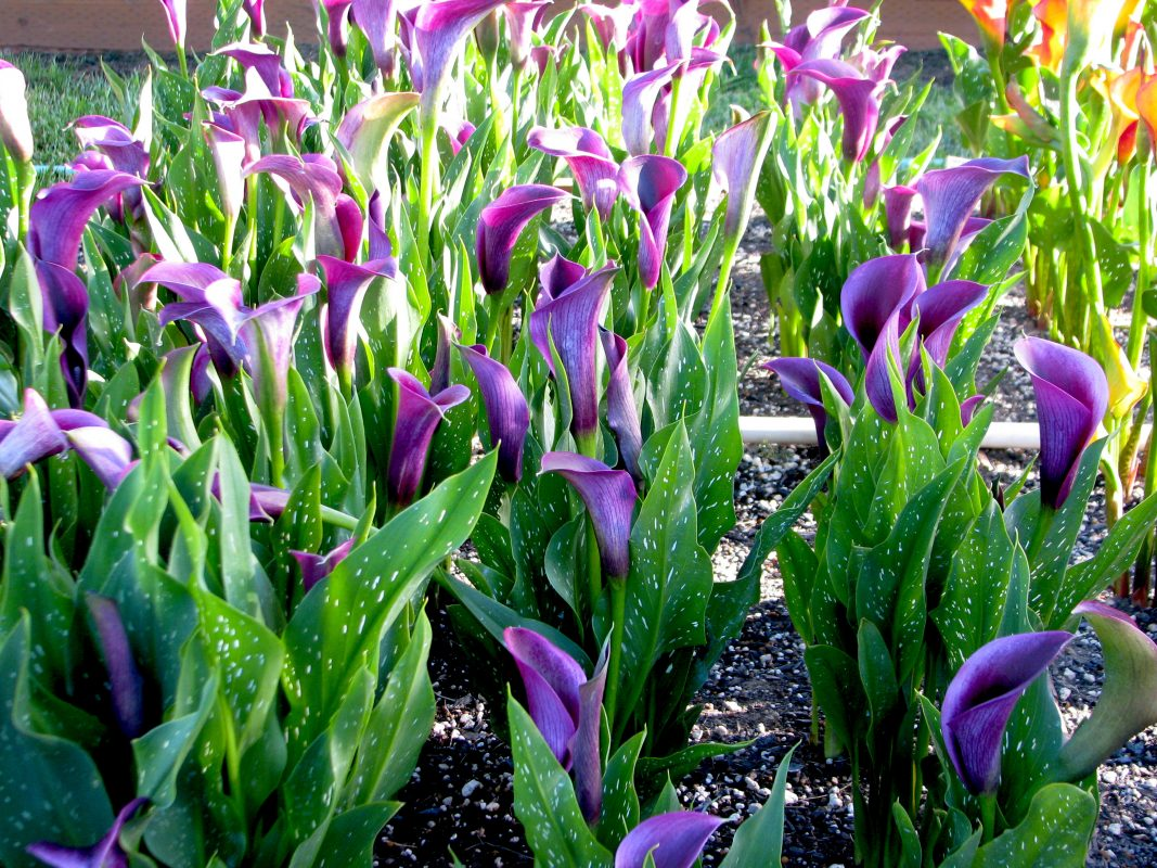 Growing Calla Lilies in Any Climate: Purple Moon Calla Lily