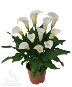 Siberia White Calla Lily Bulbs Flower