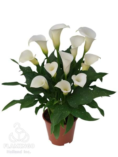 Siberia Calla Lily Bulbs For Sale Zantedeschia Bulbs