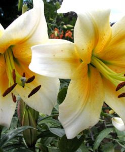 American Flame Orienpet Lily