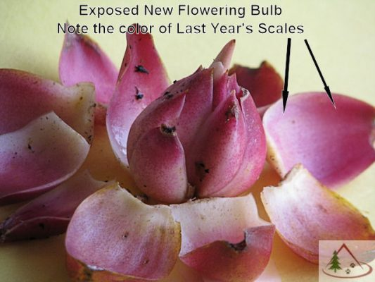 Exposed Lily Flowering Bulb