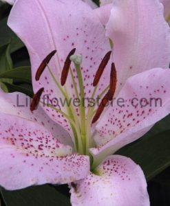 Josephine Pink Oriental Lily Bulbs Flower