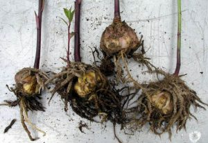Lily Bulbs with Stem Growth