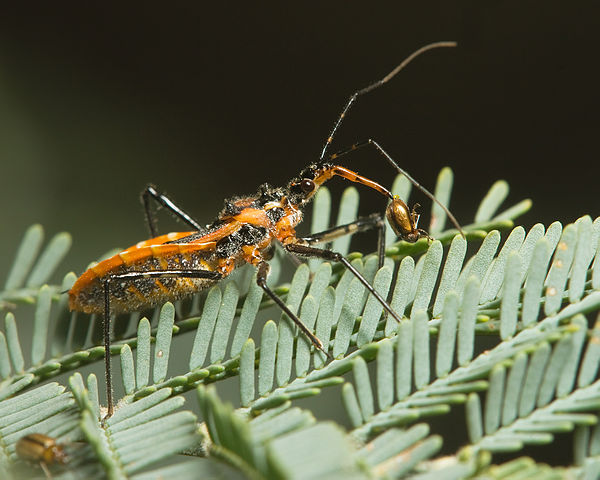Assassin Bug: Beneficial insects in the garden.