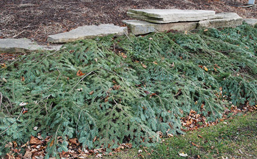 Christmas Tree Branches-Mulch