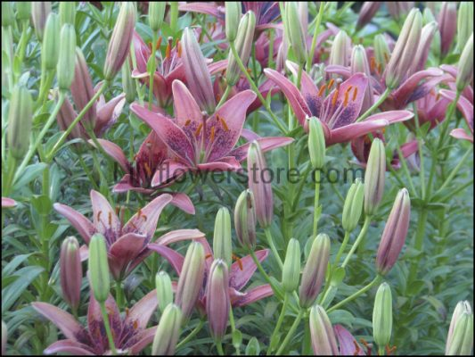 Cogoleto Asian Lily Flower Stemss