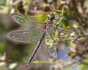 Dragon Fly is a beneficial insects in the garden.
