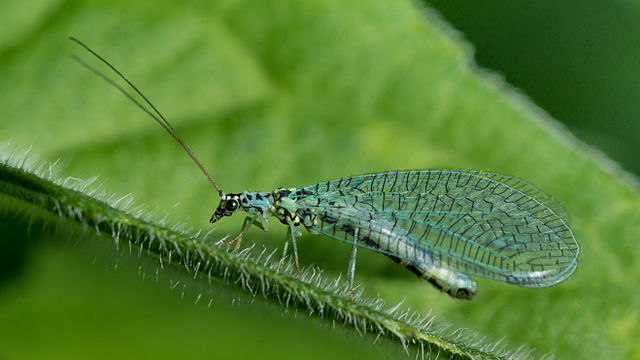 Green Lacewing: Beneficial insects in the garden.