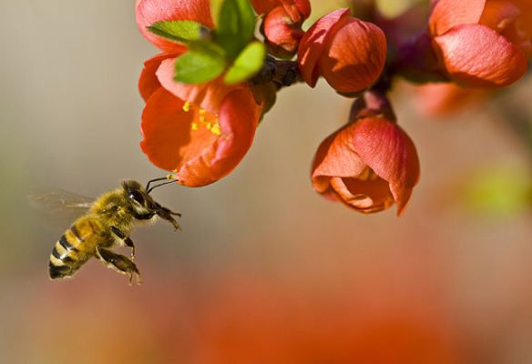 Honey Bee: Beneficial bugs for plants.
