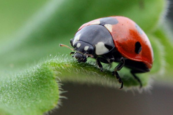 Lady Bug: Beneficial bugs for plants.