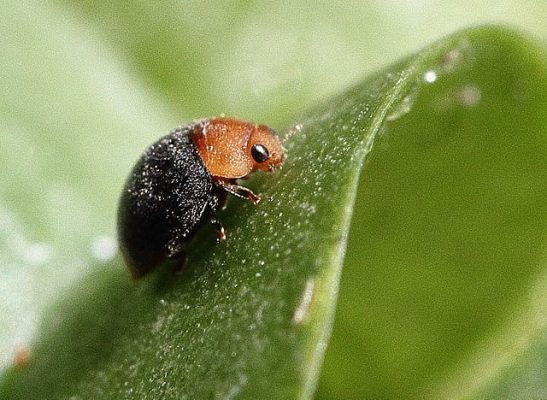 Mealy Bug Destroyer: Beneficial insects in the garden.