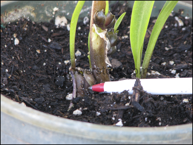 New Bulb-lets in a Month After Deadheading Lily Flower Stems