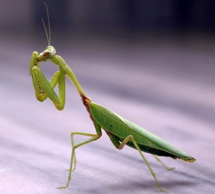 Preying Mantis is a beneficial insect in the garden.
