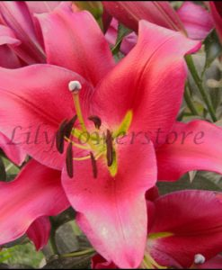 Redford Orienpet Lily Bulbs Flower
