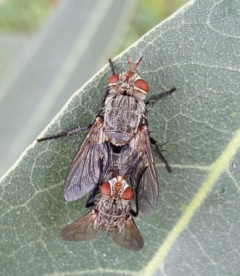 Tachinid Fly: Beneficial bugs for plants.