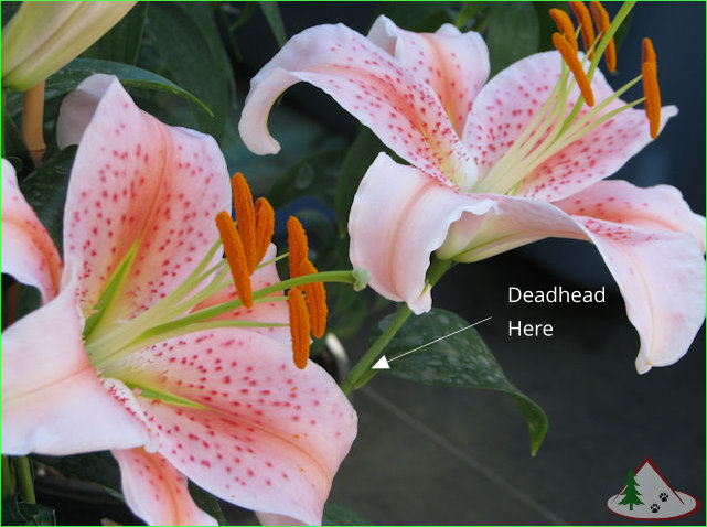 Salmon Star Fragrant Oriental Lily Flower.